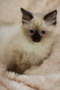 LITTLE SEAL MITTED GIRL-DIED AT VET